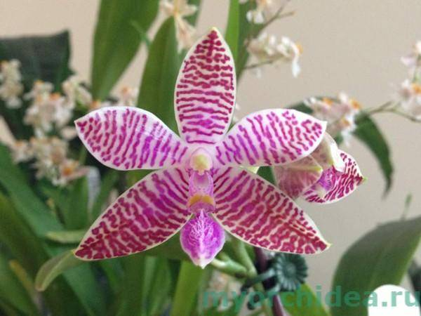 Цвета орхидей