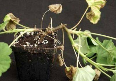 У герани скручиваются листья что делать