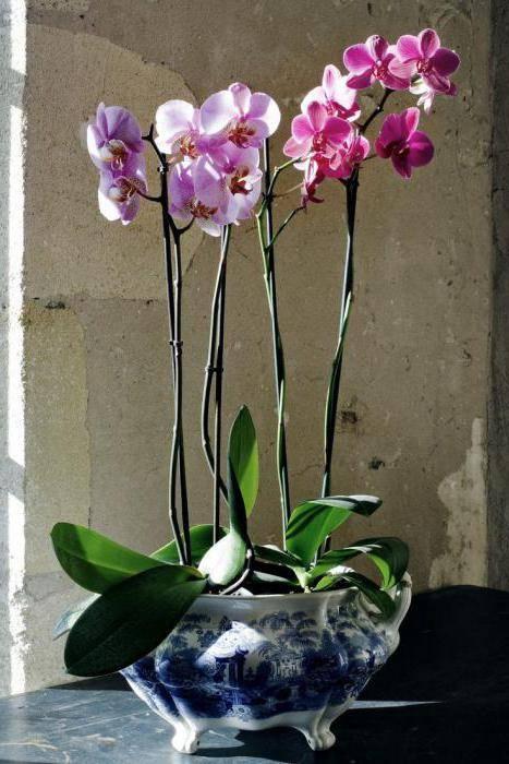 Можно ли пересаживать цветущую