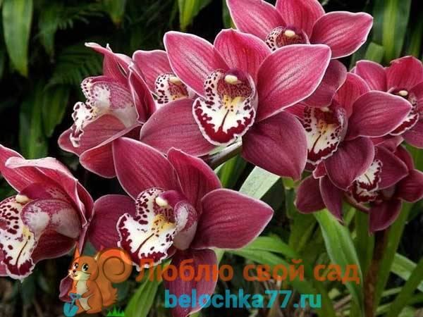 Орхидея сорта