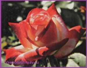 Роза принцесса фарах