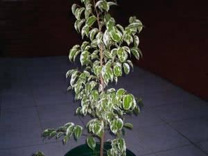 Почему осыпаются листья у фикуса бенджамина