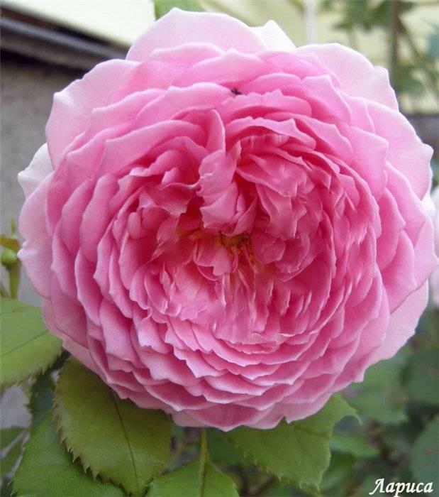 Роза юбилей селебрейшн