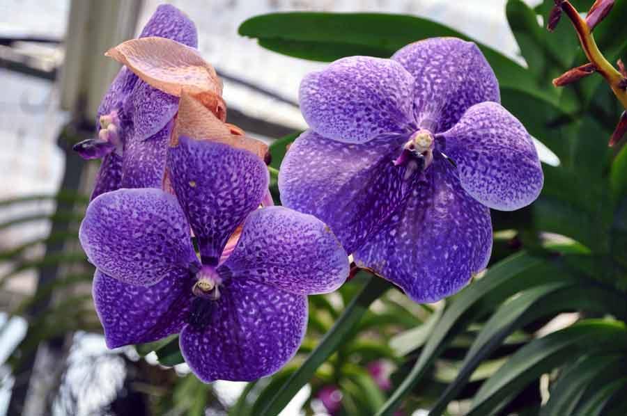 Ванда растение