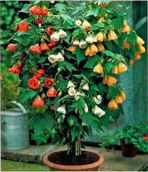 Комнатный цветок клен