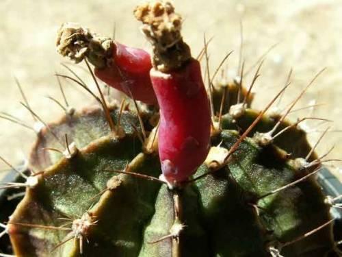 Красный кактус