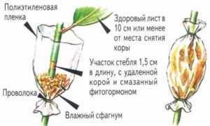 Как рассадить фикус