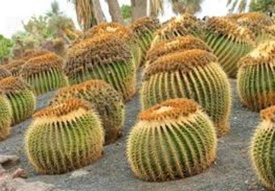 Как разводить кактусы