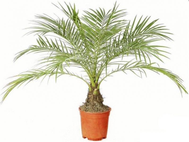Финиковая пальма уход
