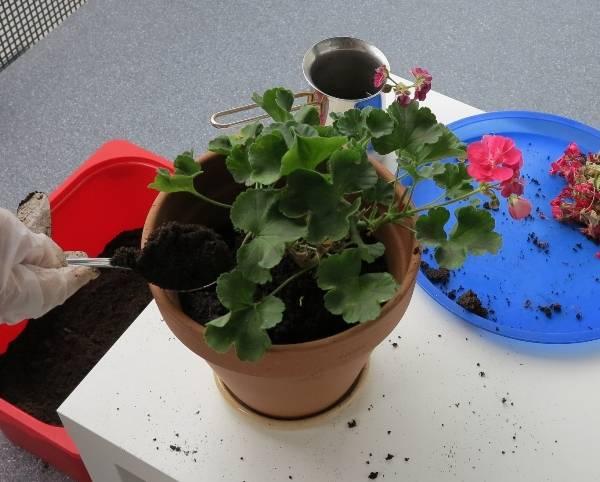 Чем поливать герань для обильного цветения