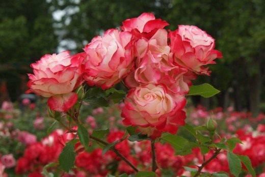 Розы флорибунда что это такое
