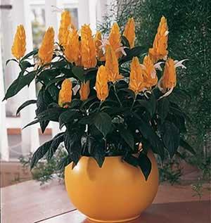 Цветок желтая свечка
