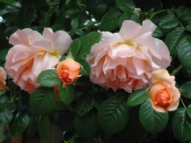 Роза кент почвопокровная