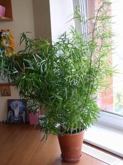 Аспарагус серповидный уход в домашних условиях