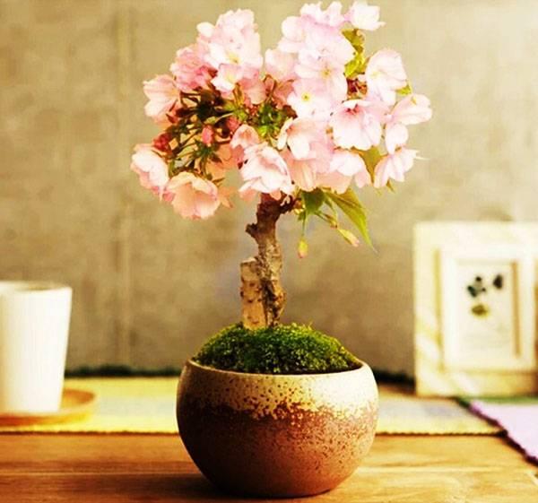 5d1ac56d193ae5d1ac56d193f8 Сакура бонсай выращивание. Сакура из семян. Выращивание сакуры саженцами