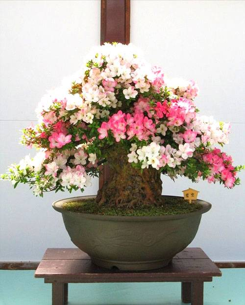5d1ac56e1d6275d1ac56e1d692 Сакура бонсай выращивание. Сакура из семян. Выращивание сакуры саженцами