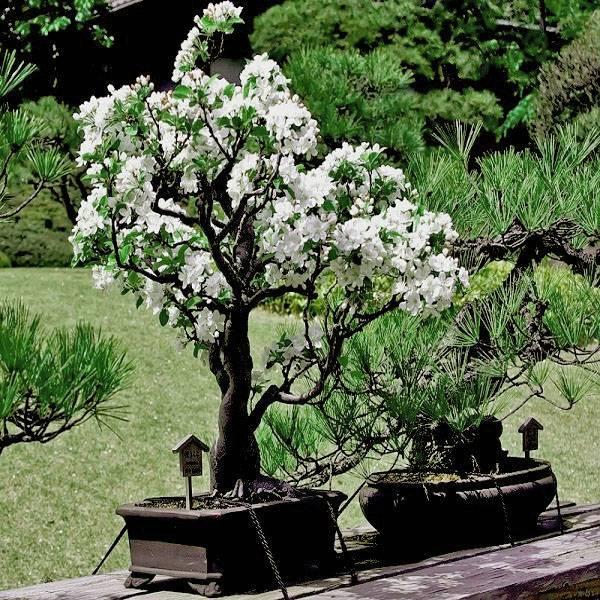 5d1ac56e6dd805d1ac56e6ddc7 Сакура бонсай выращивание. Сакура из семян. Выращивание сакуры саженцами