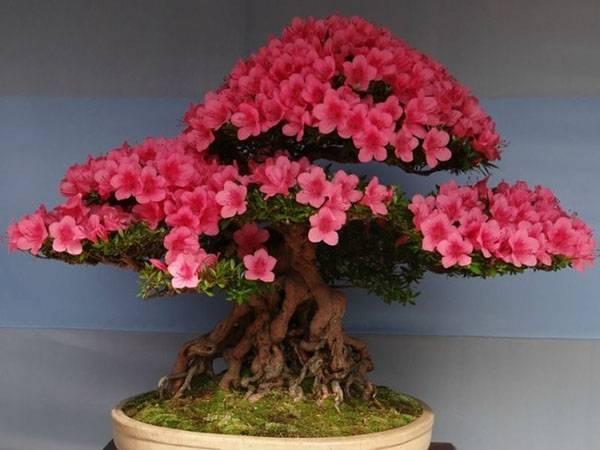 5d1ac56ec91355d1ac56ec917e Сакура бонсай выращивание. Сакура из семян. Выращивание сакуры саженцами