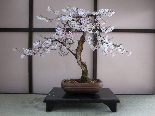 5d1ac570ee6d45d1ac570ee71f Сакура бонсай выращивание. Сакура из семян. Выращивание сакуры саженцами
