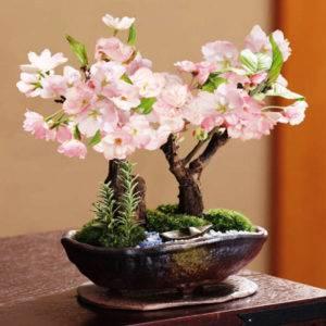 5d1ac5710541a5d1ac57105468 Сакура бонсай выращивание. Сакура из семян. Выращивание сакуры саженцами