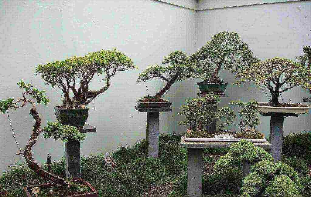 Сакура бонсай как вырастить из семян