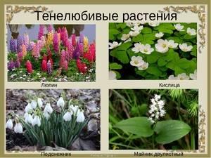Цветы которые растут в тени