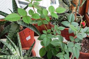 Эпин применение для комнатных растений