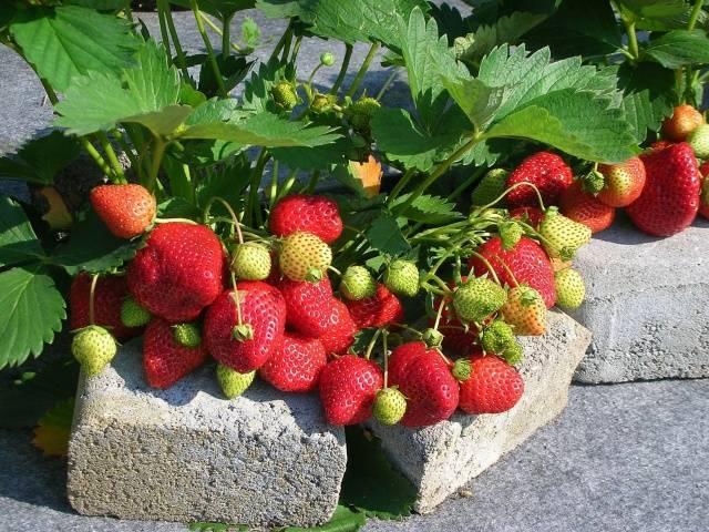 Лучшие сорта садовой земляники для урала