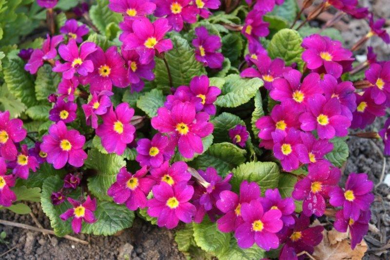 Примула садовая многолетняя посадка и уход