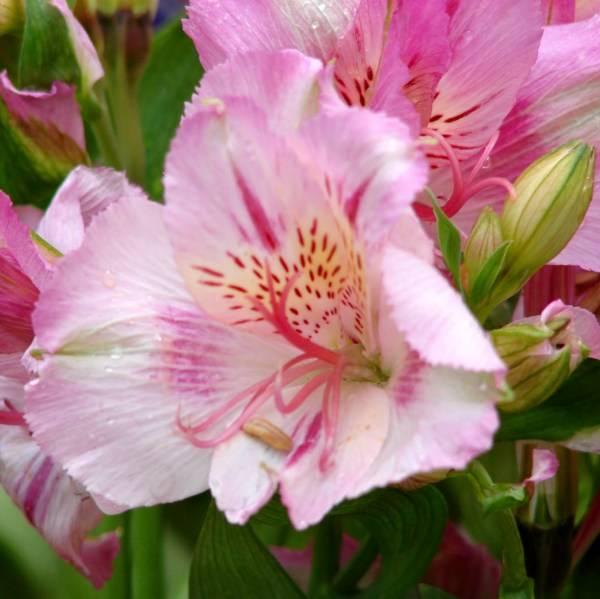 Цветок аустерия