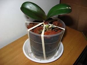 Как правильно посадить орхидею