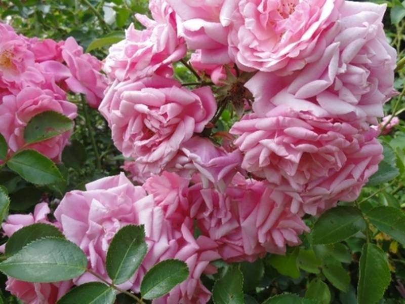 Цветы шток роза