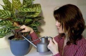 Почему сохнут листья у калатеи