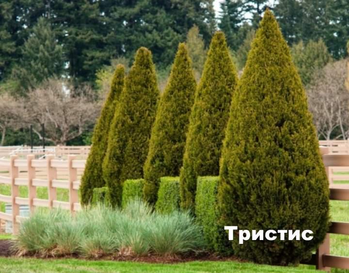 Какие хвойные деревья бывают