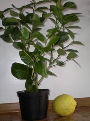 Как пересадить лимон