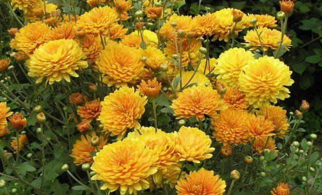 Чем подкормить хризантему чтобы зацвела