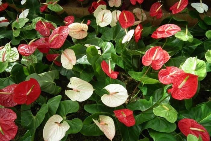 Как размножить цветок мужское счастье