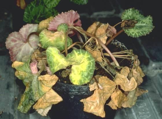 Цветок цикламен уход