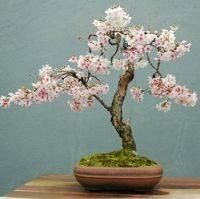Японская сакура бонсай выращивание из семян
