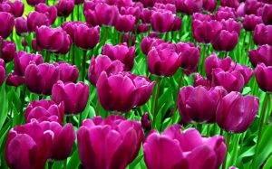 Когда лучше садить тюльпаны