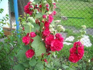 Цветок шток роза