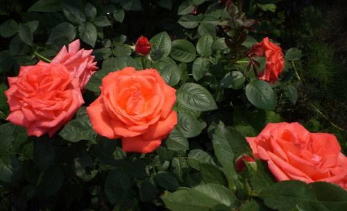 Супер стар роза