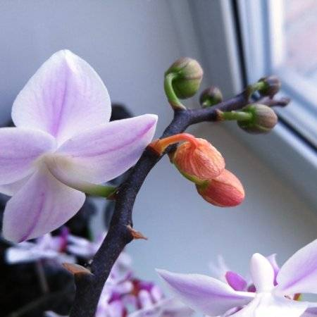 Почему у орхидеи опадают бутоны