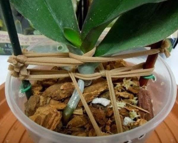 Как реанимировать орхидею без листьев