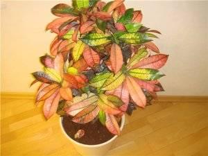 Кротон растение