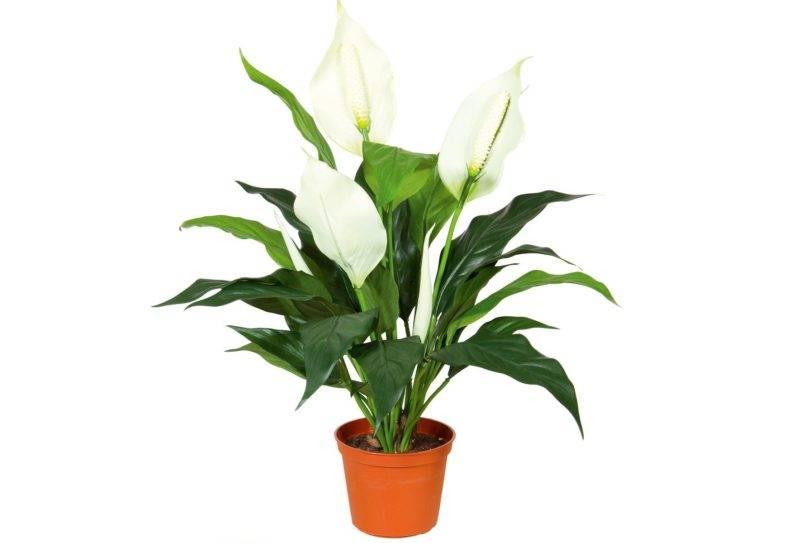 Спатифиллум цветок безбрачия