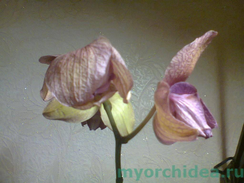 Завяла орхидея