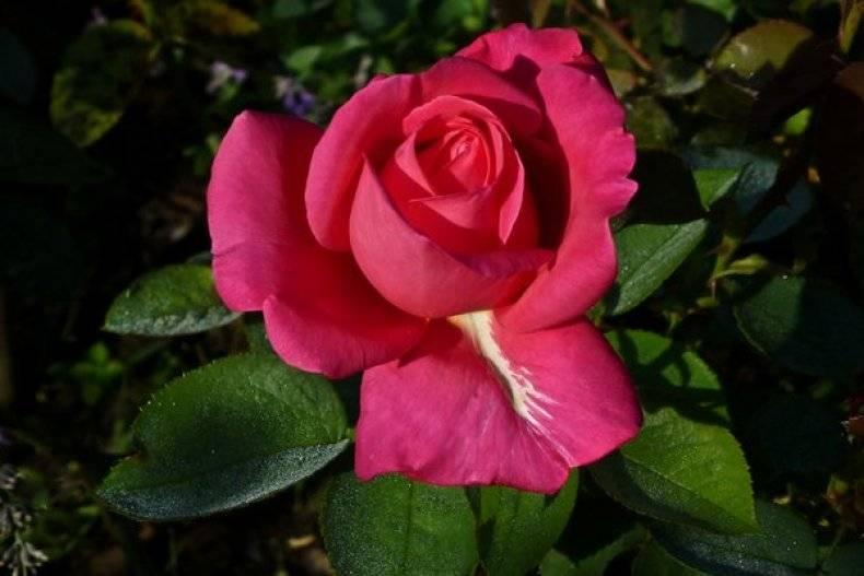Swany роза