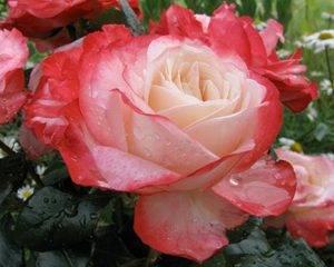 Парковая роза белая