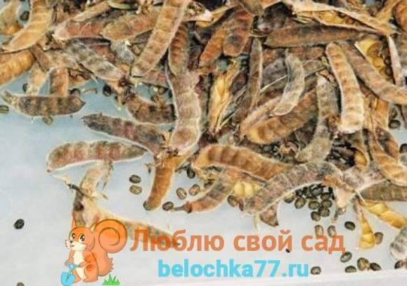 Люпин выращивание из семян когда сажать